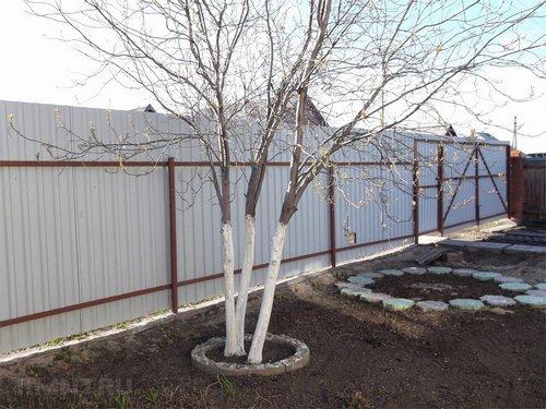 Побелка стволов деревьев на участке в саду — польза и особенности